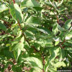 Picture of Redosier Dogwood