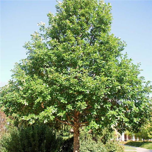 Picture of Swamp White Oak