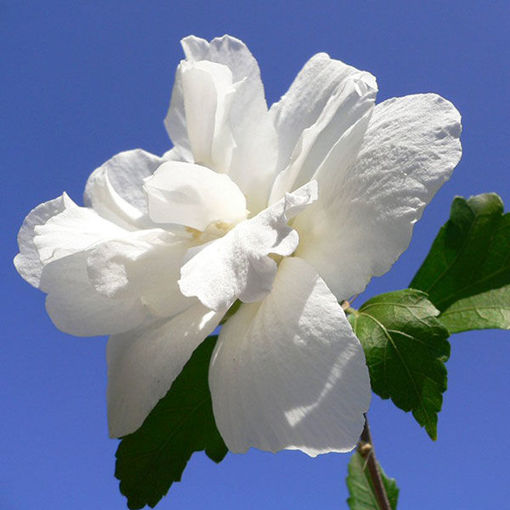 Picture of White Rose-of-Sharon