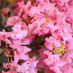 Picture of Shell Pink Black Diamond Crapemyrtle