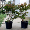 Picture of Southern Living Miss Frances Crapemyrtle