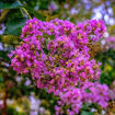 Picture of Southern Living Miss Sandra Crapemyrtle