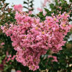 Picture of Sioux Crapemyrtle