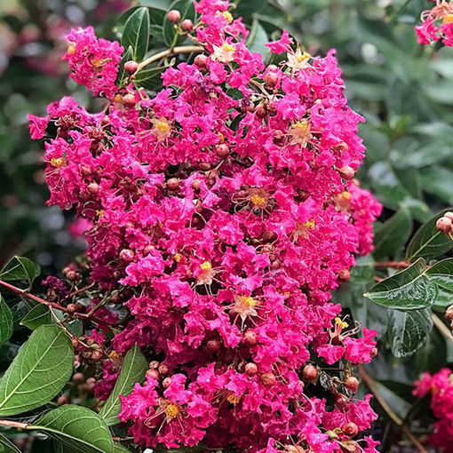 Picture of Tonto Crapemyrtle