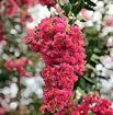 Picture of Tuscarora Crapemyrtle