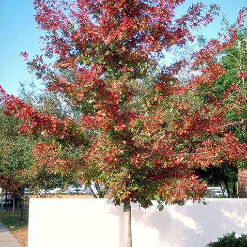 Shumard Oak - Quercus shumardii
