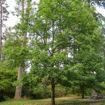 Picture of Shumard Oak