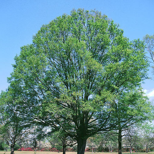 Picture of Willow Oak