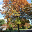 Picture of Pin Oak