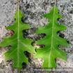 Picture of Nuttall Oak