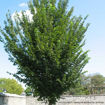 Picture of Princeton Elm