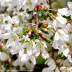 Picture of Snow Fountains Weeping Cherry