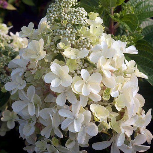 Picture of Lavalamp Candelabra Hydrangea