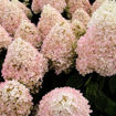 Picture of Sweet Summer Panicle Hydrangea