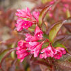 Picture of Date Night Strobe Weigela