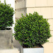 Picture of Sprinter Boxwood