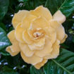 Picture of Golden Magic Jasmine Gardenia