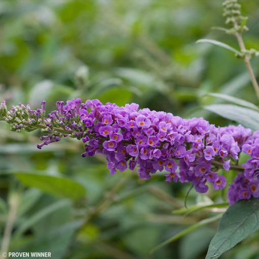Blue Chip Butterfly Bush - Buddleia hybrid