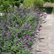 Picture of 'Blue Chip' Butterfly Bush