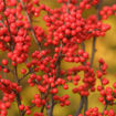 Berry Heavy Winterberry