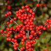 Picture of Berry Heavy® Winterberry