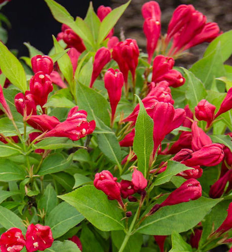 Crimson Kiss Weigela bush