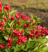 Picture of Crimson Kisses® Weigela