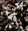 Picture of Date Night™ Tuxedo™ Weigela