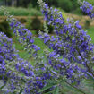 Picture of Delta Blues Vitex