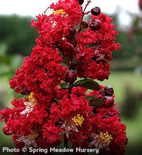Dynamite Crapemyrtle shrub - Lagerstroemia indica Whit II P.P.# 10296