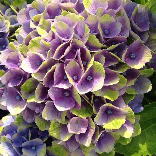 Everlasting Amethyst Hydrangea
