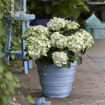 Picture of Everlasting® Amethyst Hydrangea