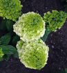 Picture of Lavalamp™ Moonrock™ Hydrangea