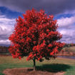 Picture of October Glory Maple