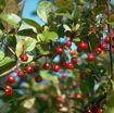 Profusion Crabapple Fruit