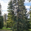 White Fir evergreen