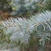 Picture of Santa Fe White Fir