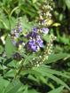 Blue Hydrangea bush  - Hydrangea macrophylla Nikko Blue