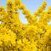 Picture of Show Off® Forsythia