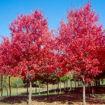 """Red Sunset Maple - Acer rubrum """"Franksred"""""""