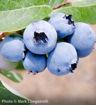 "Bluecrop Blueberry - Vaccinium corymbosum ""Bluecrop"""
