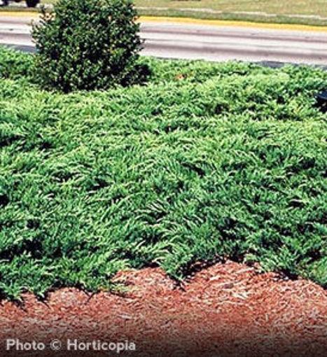 Youngstown Juniper evergreen