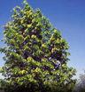 Hybrid Poplar - Populus deltoides x Populus nigra
