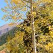 Quaking Aspen - Populus tremuloides
