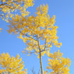 Picture of Quaking Aspen