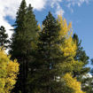 Picture of Lodgepole Pine