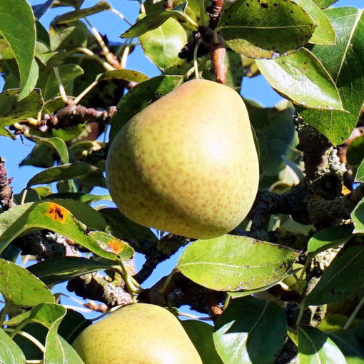Picture of Hood Pear