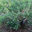 Picture of Brightwell Blueberry