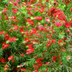 Picture of Red Cluster Bottlebrush