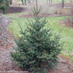Picture of Meyer Spruce